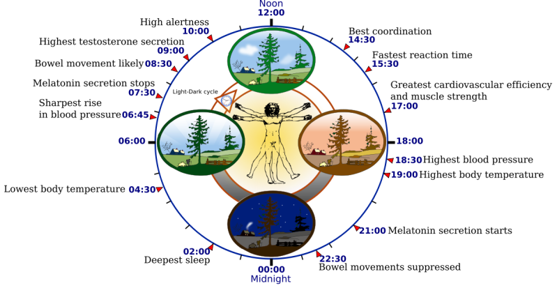1200px-biological_clock_human-svg